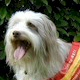 Bearded Collie. In a nutshell: A shaggy happy-go-lucky dog of high intelligence.