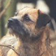 Border Terrier. In a nutshell: A small dog with a large dog's attitude.