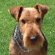 Welsh Terrier. In a nutshell: A lively and loving companion who when focused can compete against the best.