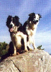 Collies 'On Top' in Swaziland
